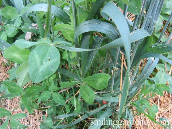Cover Crops For Gardens - Clover And Oats